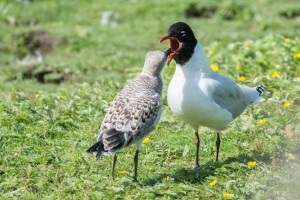 Optimized-Med gull and chick at WOW. Stephen Maxwell