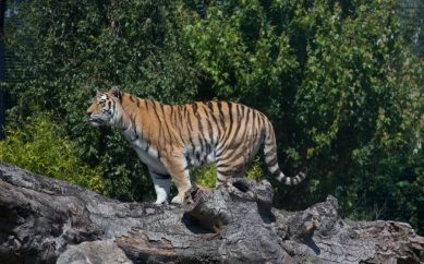 Tayto Park celebrates International Tiger Day with a host of exciting activities!