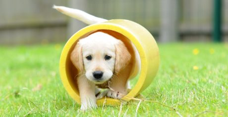 Could you care for a Guide Dog puppy? We have puppies that need a home in Belfast and Bangor and we need YOU!